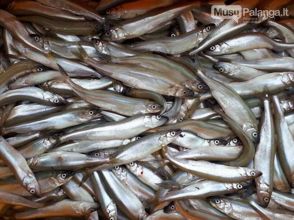 Įsibėgėjus stintų žvejybai – priminimas žvejams laikytis Mėgėjų ir limituotos žvejybos jūrų vandenyse taisyklių reikalavimų, nuotrauka-1