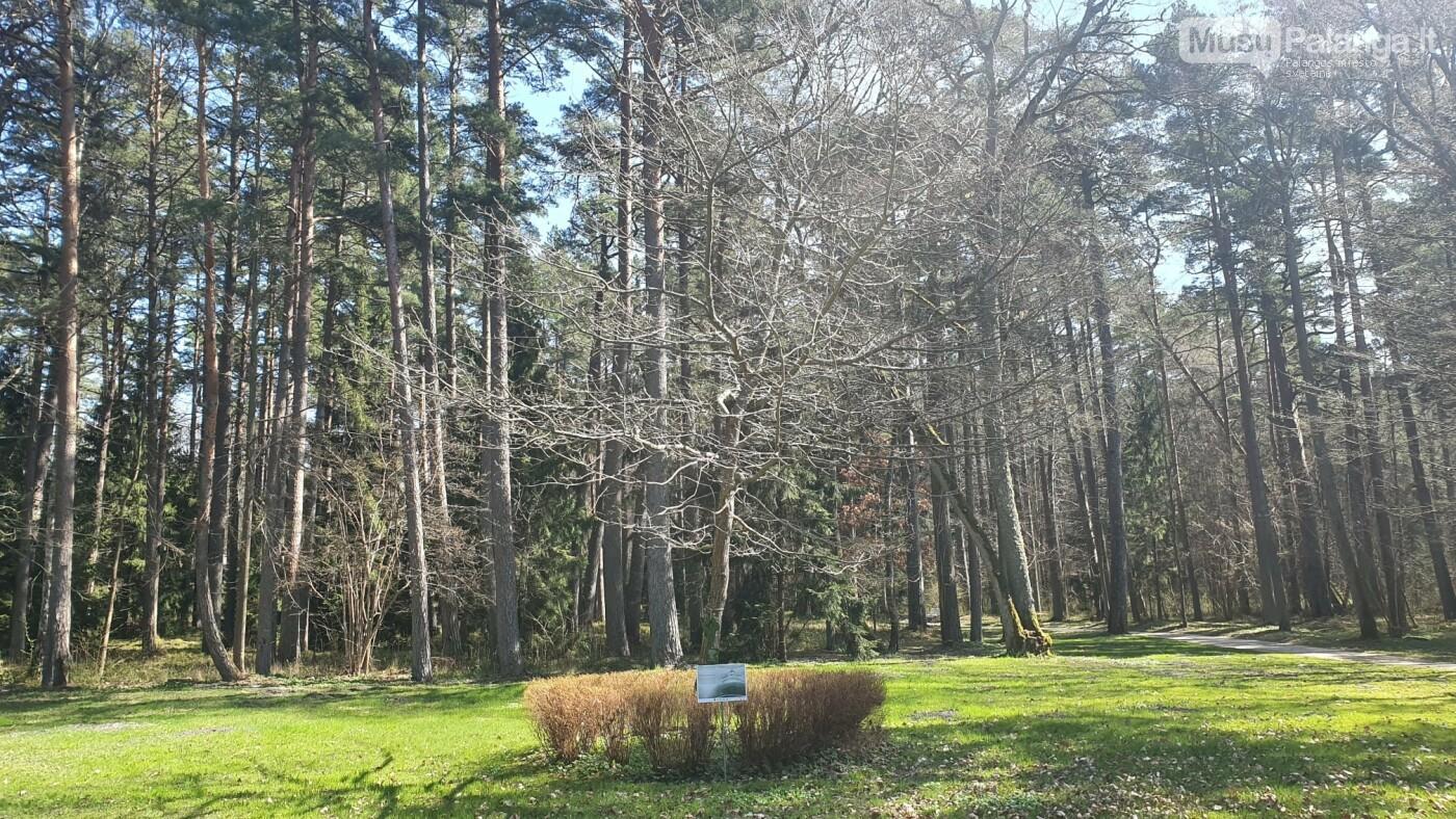 Parko šimtmečio ąžuolas. Ąžuoliukas buvo pasodintas Palangos Birutės parko įkūrimo 100-mečio proga - 1997 metais per Jurginių šventę su didelėmis i...