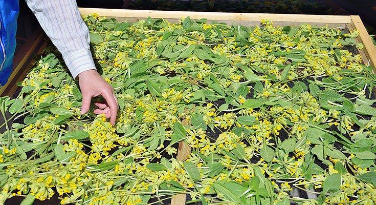 Kai sklinda žolelių aromatas: žolininkų Giedrės ir Lino Bružų patarimai , nuotrauka-5