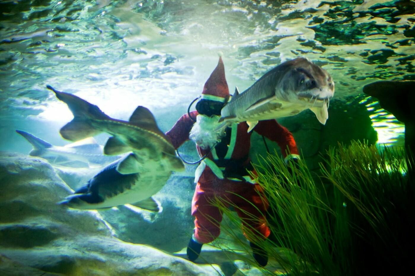 Klaipėdoje akvariume nardo Kalėdų senelis (nuotraukų galerija), nuotrauka-4