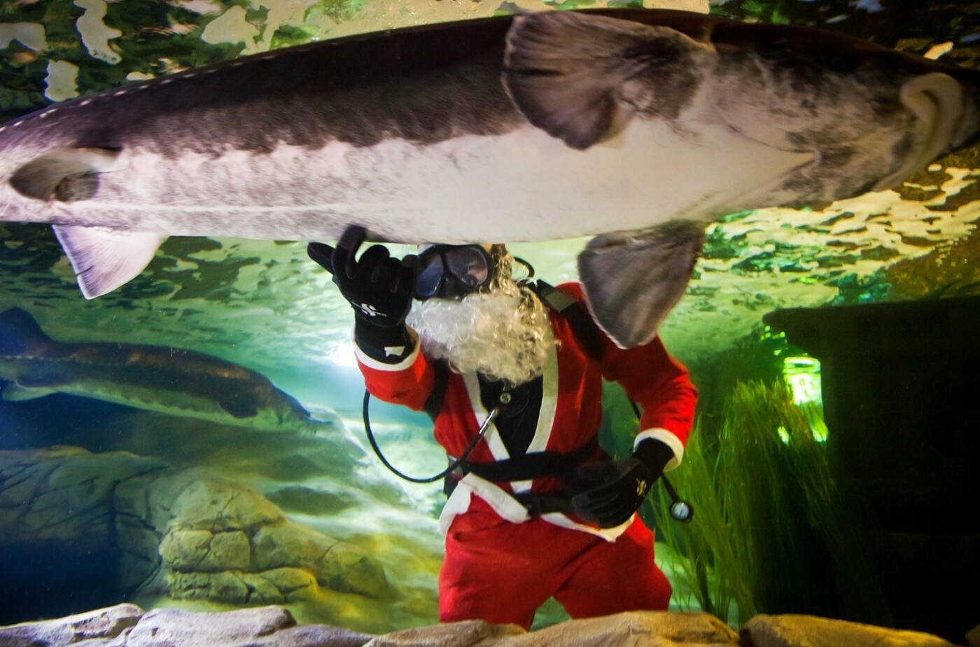Klaipėdoje akvariume nardo Kalėdų senelis (nuotraukų galerija), nuotrauka-3